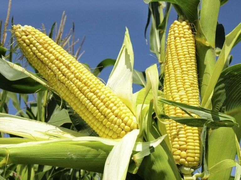 Oferta de milho cresce em meio às incertezas logísticas