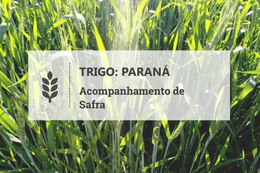 Paraná: trigo tem bom desenvolvimento em Guarapuava