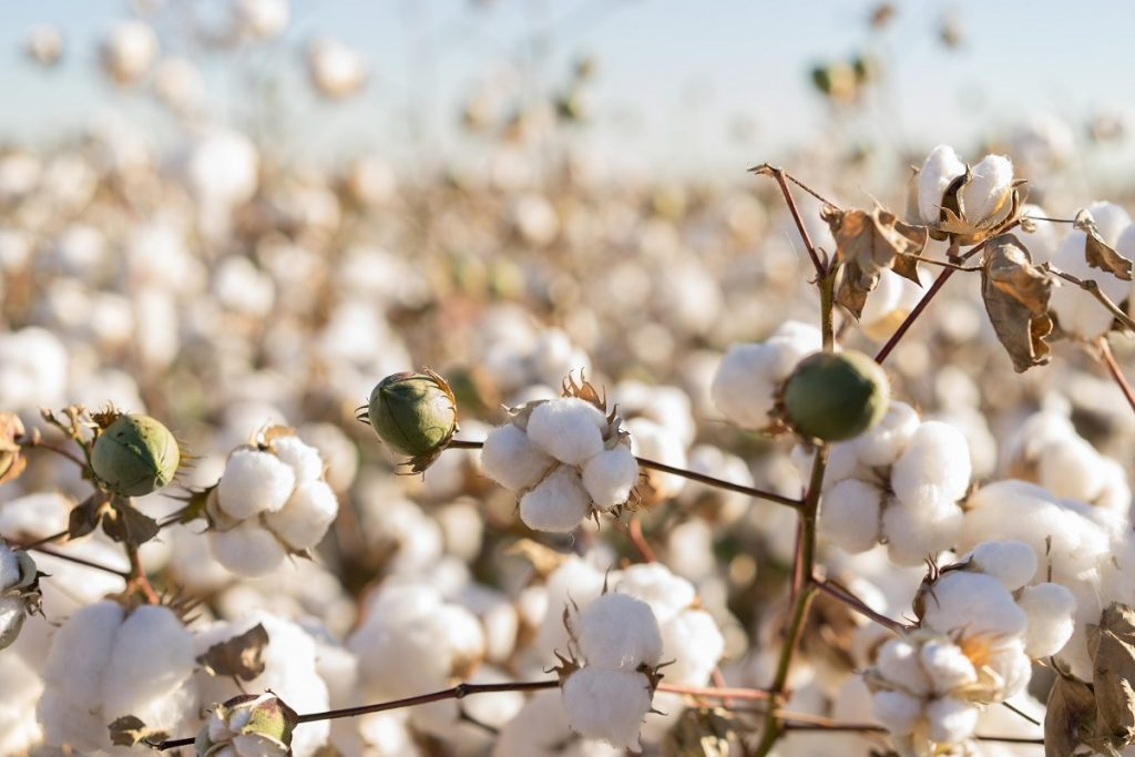Indefinições comerciais e produção mais enxuta na Austrália devem beneficiar exportações brasileiras de algodão em 2018/19