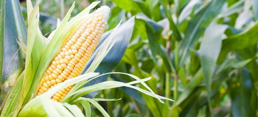 Balanço de O&D do milho deve ficar mais folgado