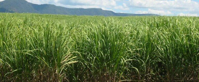 Clima seco limita moagem de cana-de-açúcar no Norte-Nordeste