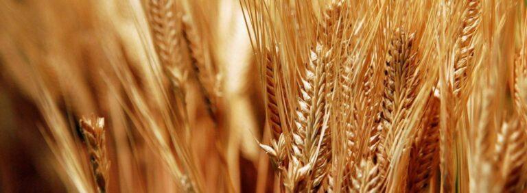 trigo, proteína, protein, wheat