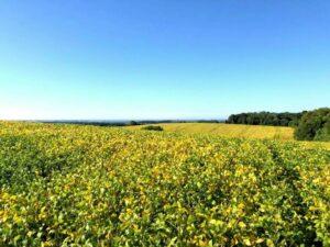 Brasil produz menos soja, mas deve recuperar 'safrinha' de milho