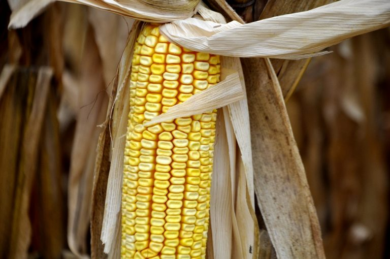 Safrinha de milho deverá ter sua produtividade impactada