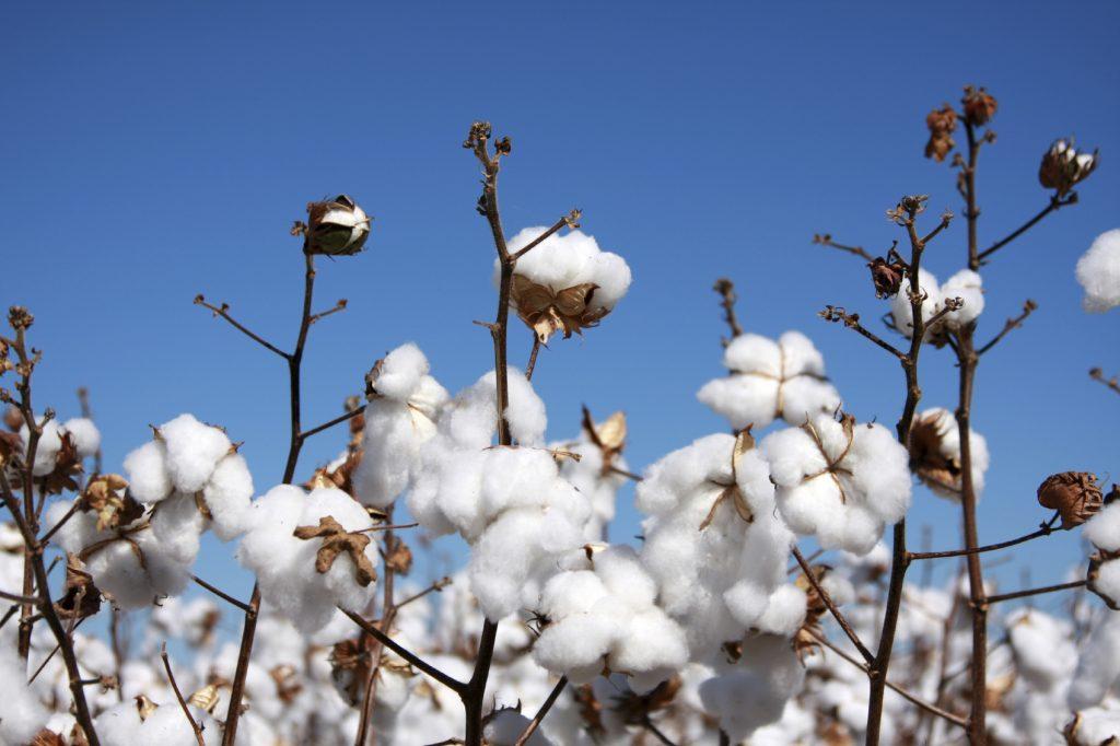 Produção baiana de algodão deve avançar 37%