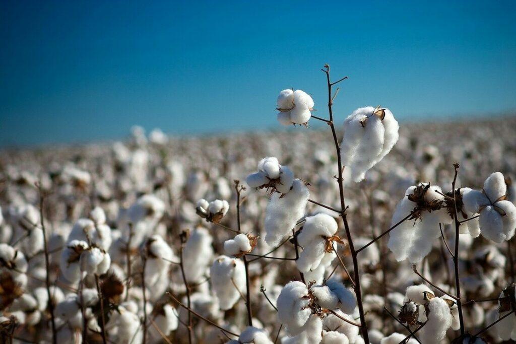 Clima dificulta retirada da pluma dos algodoais e atrasa entregas às beneficiadoras nos EUA
