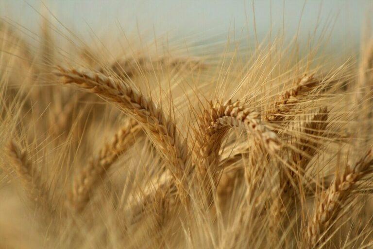 Apesar do embargo entre Rússia e Ucrânia, exportações de trigo russo podem não ser prejudicadas no longo prazo