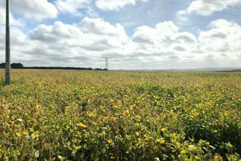 RS: clima impacta lavouras de soja na região sul do estado