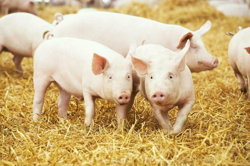 Gripe Suína Africana deve influenciar comércio global de carnes e grãos