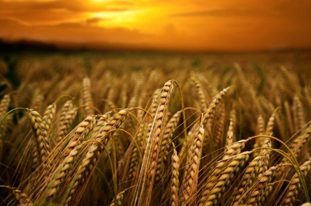 Perspectivas para o plantio de trigo no Brasil